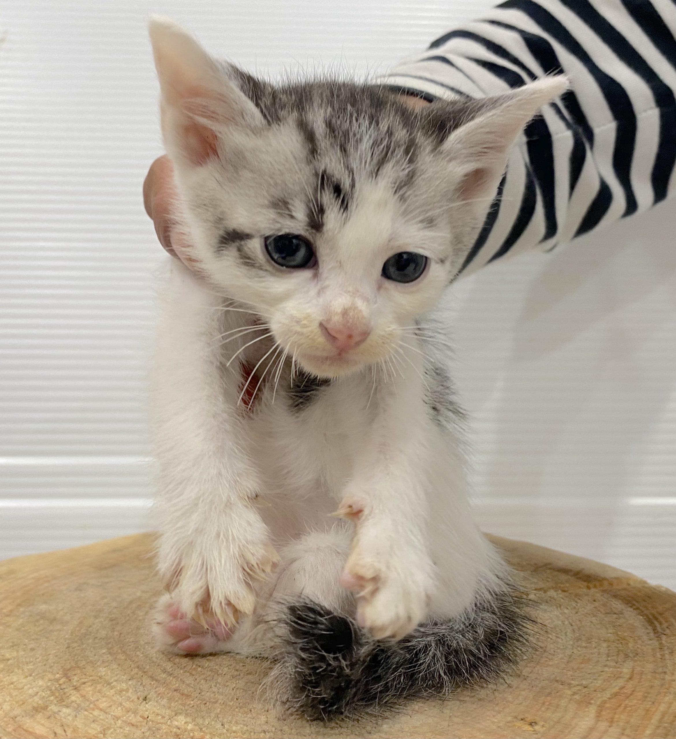 <ul> <li>猫種:日本猫</li> <li>性別:男の子</li> <li>名前:</li> <li>年齢:2021年6月9日生まれ</li> <li>保護経緯:飼い主が高齢になり認知症のため飼育困難</li> </ul>