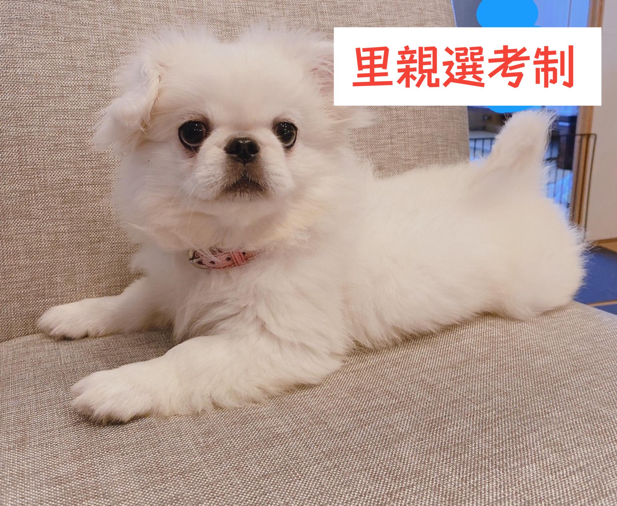 <ul> <li>犬種:ペキニーズ</li> <li>性別:女の子</li> <li>名前:ポポ</li> <li>年齢:2021年4月4日生まれ</li> <li>保護経緯:急に親族の介護が始まったため飼育困難</li> </ul>