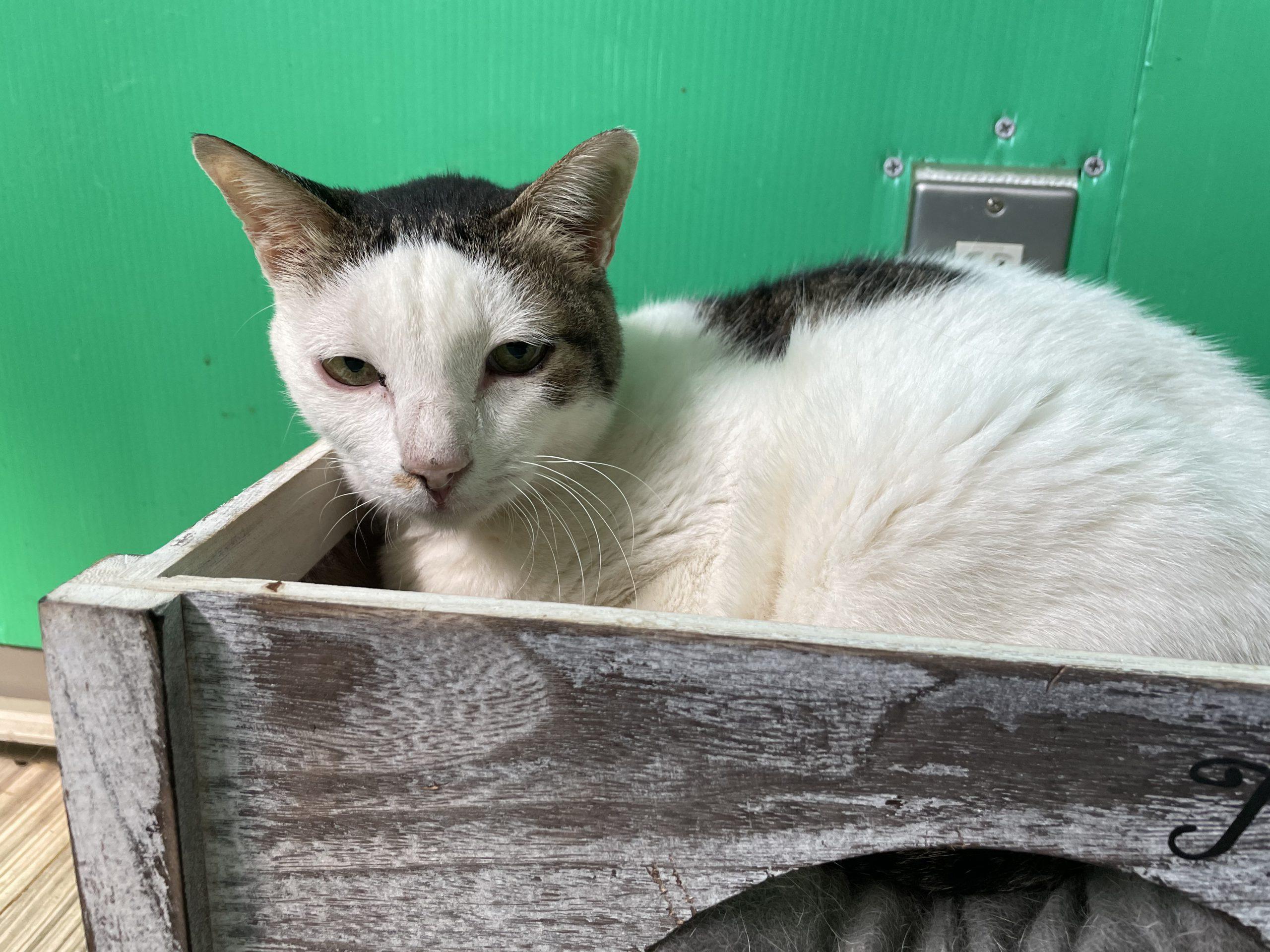 <ul> <li>猫種:日本猫  キジトラ白</li> <li>性別:女の子</li> <li>名前:珠</li> <li>年齢:2018年生まれ</li> <li>保護経緯:保護をしたが飼えないため里親を探してほしいとのことでセンターに来ました。</li> </ul>