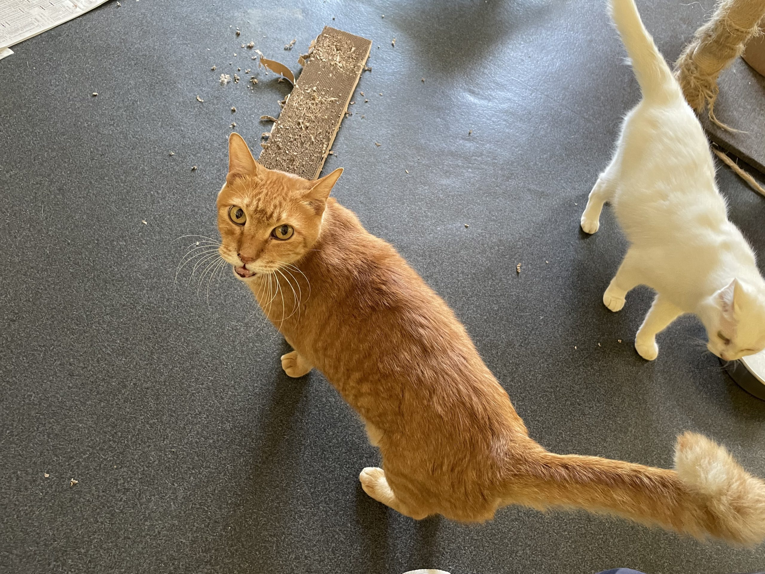 <ul> <li>猫種:日本猫 茶トラ</li> <li>性別:不明</li> <li>名前:トント</li> <li>年齢:不明</li> <li>保護経緯:飼い主様が亡くなられたため飼育困難になり保護しました。</li> </ul>