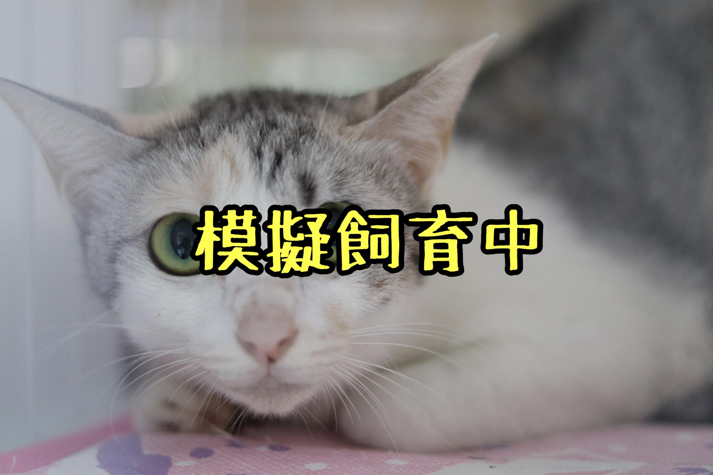 <ul> <li>猫種:日本猫</li> <li>名前(性別):ジュリ(女の子)</li> <li>年齢:2018年頃生まれ</li> <li>保護経緯:飼い主が高齢になり認知症のため飼育困難</li> </ul>