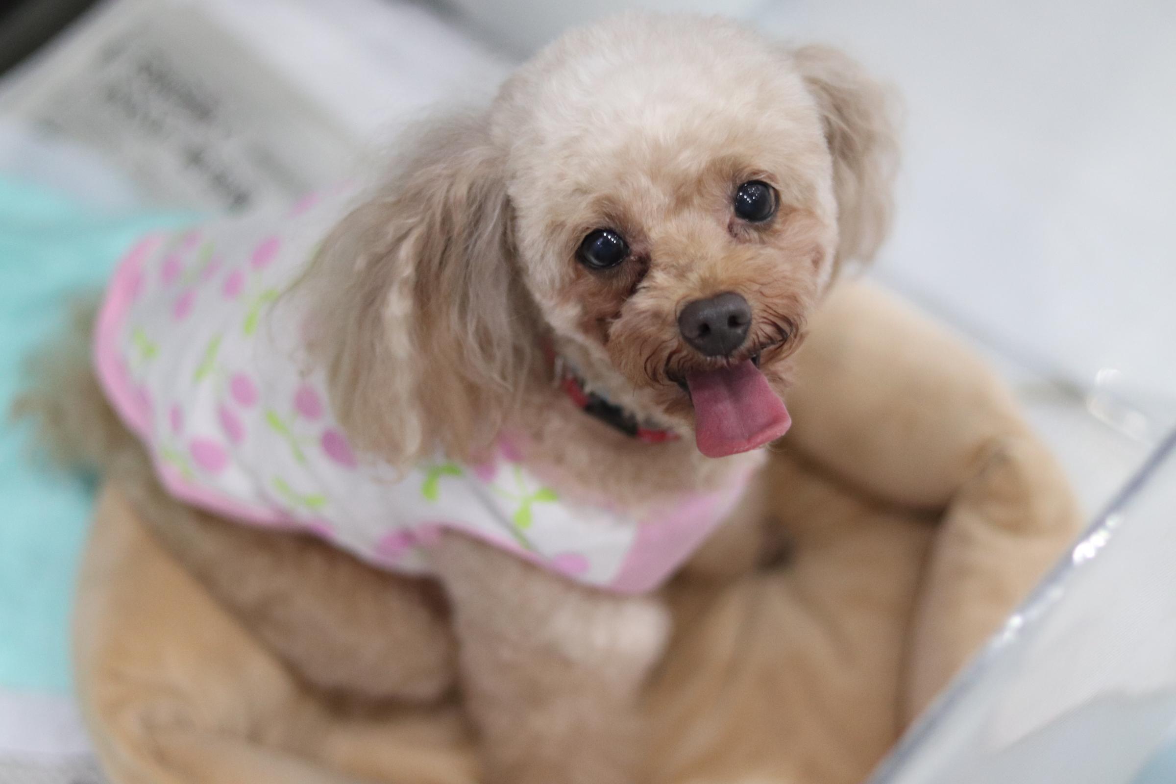 <ul> <li>犬種:トイプードル</li> <li>名前(性別):レイ(メス)</li> <li>年齢:2010年1月11日生まれ</li> <li>保護経緯:飼い主が高齢になり病気療養のため</li> </ul>