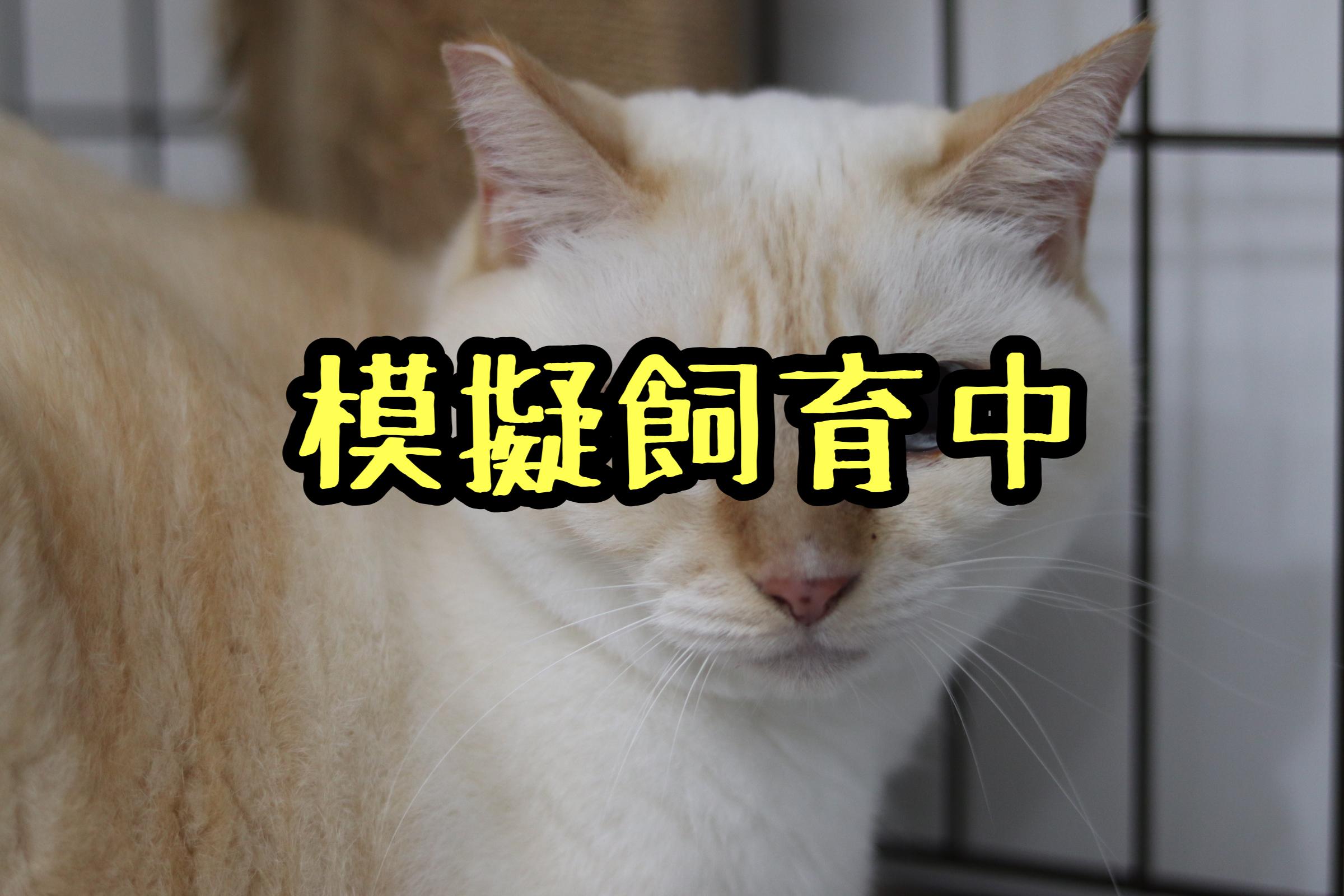 <ul> <li>猫種:日本猫</li> <li>名前(性別):不明(男の子)</li> <li>年齢:3〜8歳くらい</li> <li>保護経緯:飼い主が高齢になり逝去され、親族も引き継いで飼うことが出来ない</li> </ul>