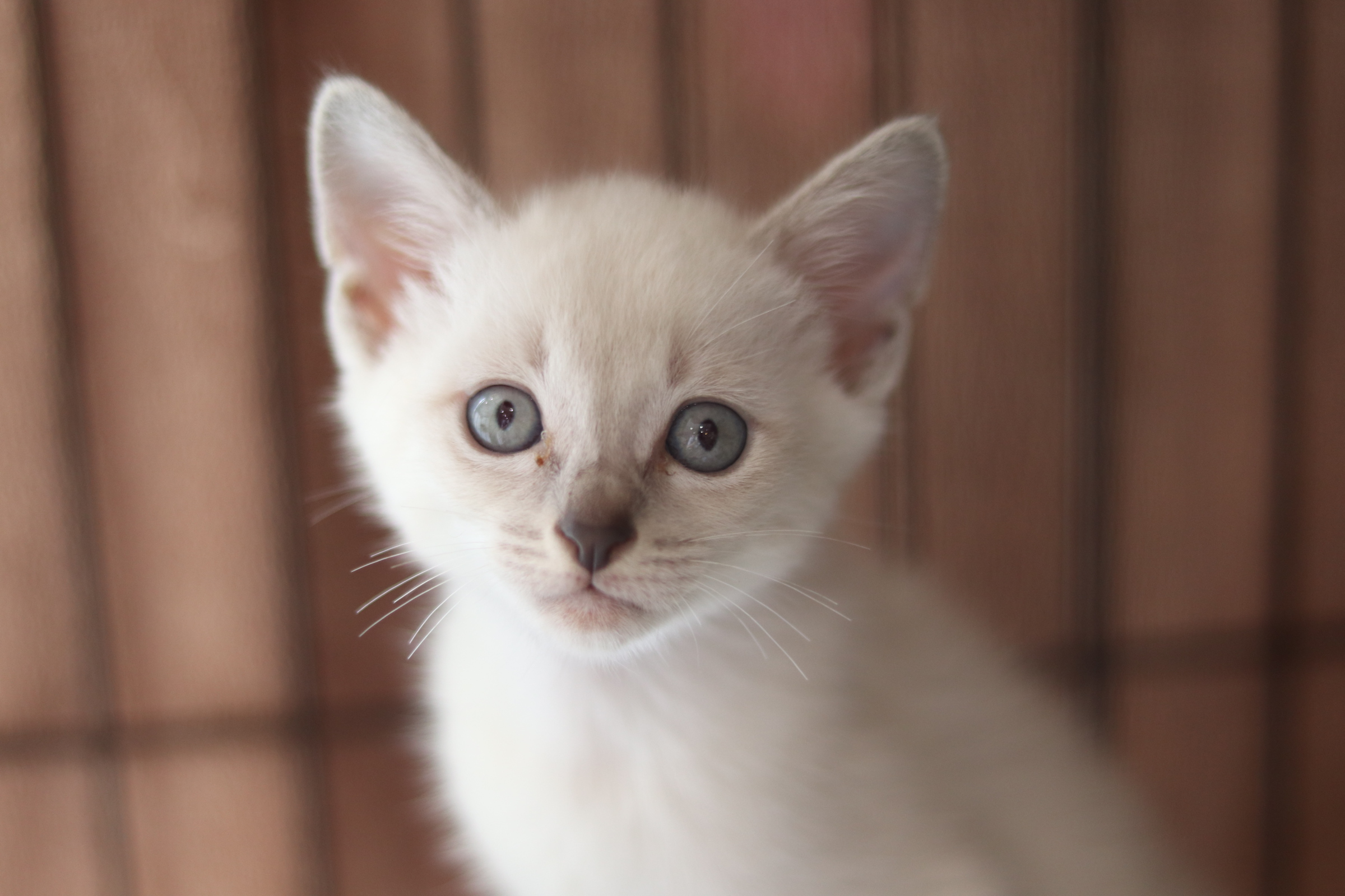 <ul> <li>猫種:日本猫</li> <li>性別:オス</li> <li>名前:名前をつけてあげてね</li> <li>年齢:2021年7月13日頃生まれ</li> <li>保護経緯:野良猫が敷地内で子猫を産んだ</li> </ul>