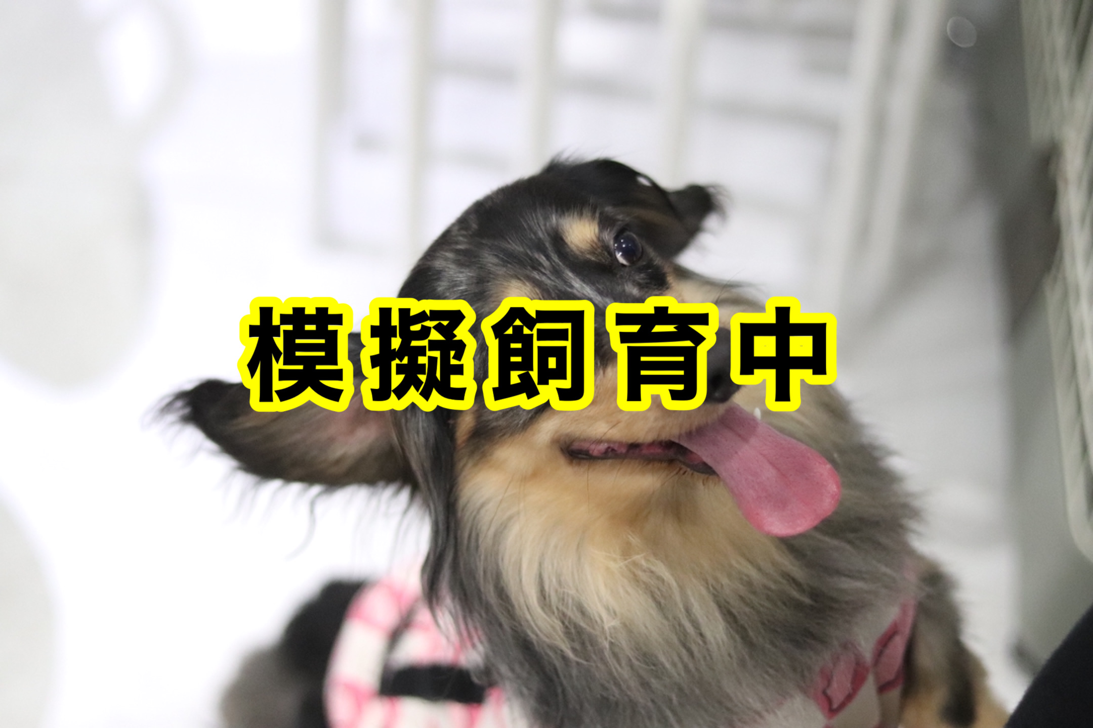 <ul> <li>犬種:ミニチュアダックスフンド</li> <li>名前(性別):リヨン(男の子)</li> <li>年齢:2014年4月14日生まれ</li> <li>保護経緯:飼い主が亡くなり、親族も引き継いで飼うことが出来ない</li> </ul>
