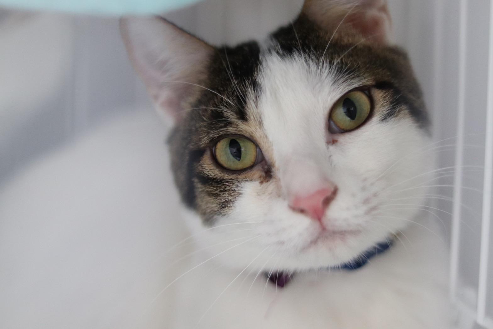 <ul> <li>猫種:日本猫</li> <li>名前(性別):にこ(男の子)</li> <li>年齢:2020年9月26日生まれ</li> <li>保護経緯:猫に咬まれて飼っていく自信がない</li> </ul>