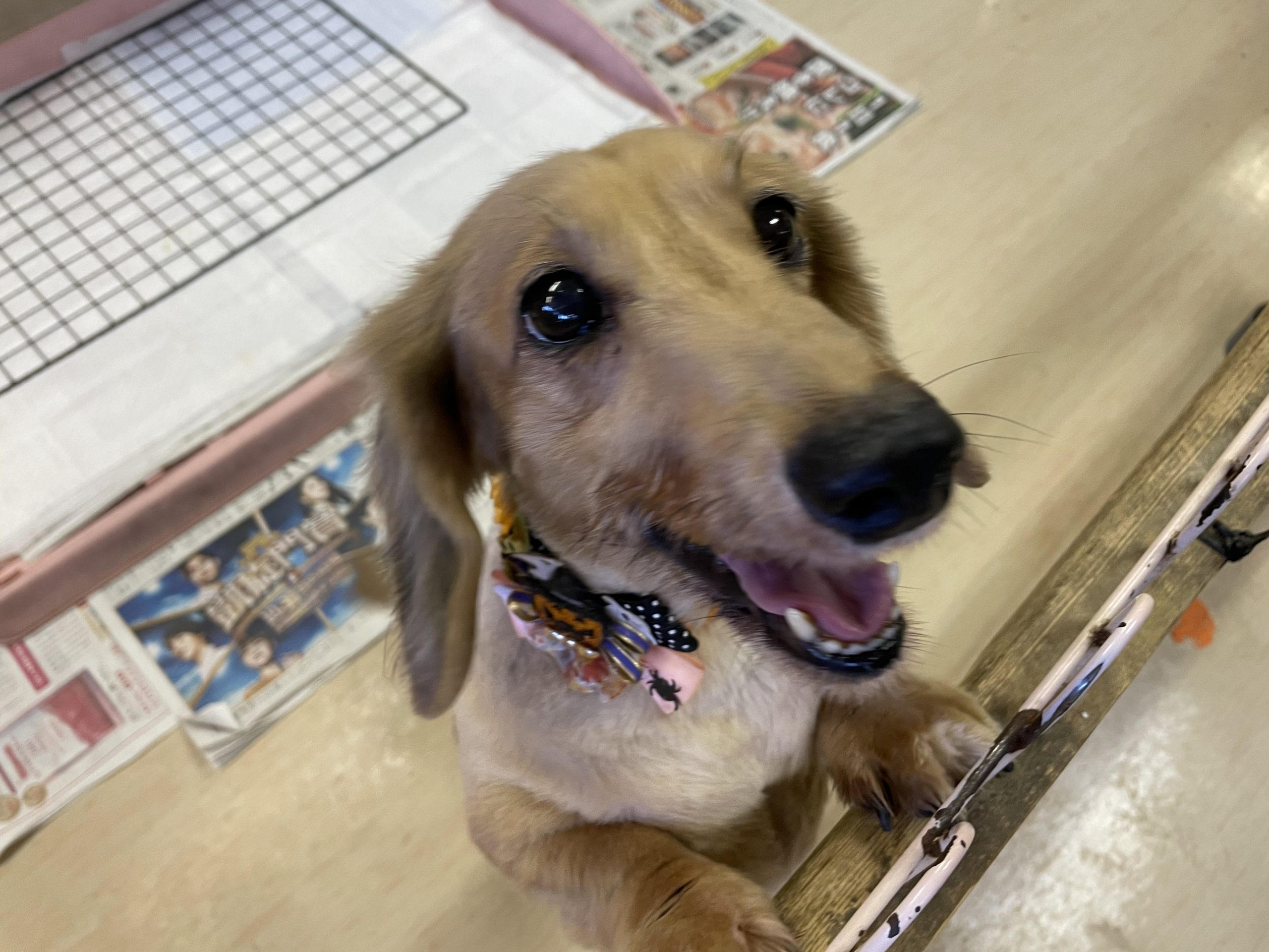 <ul> <li>犬種:ミニチュアダックス</li> <li>性別:女の子</li> <li>年齢:2011年~2012年頃生まれ</li> <li>保護経緯:病気療養のため飼育困難になり保護しました。</li> </ul>